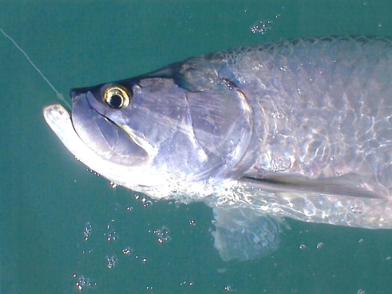 Big Ft Myers Tarpon On A Fly