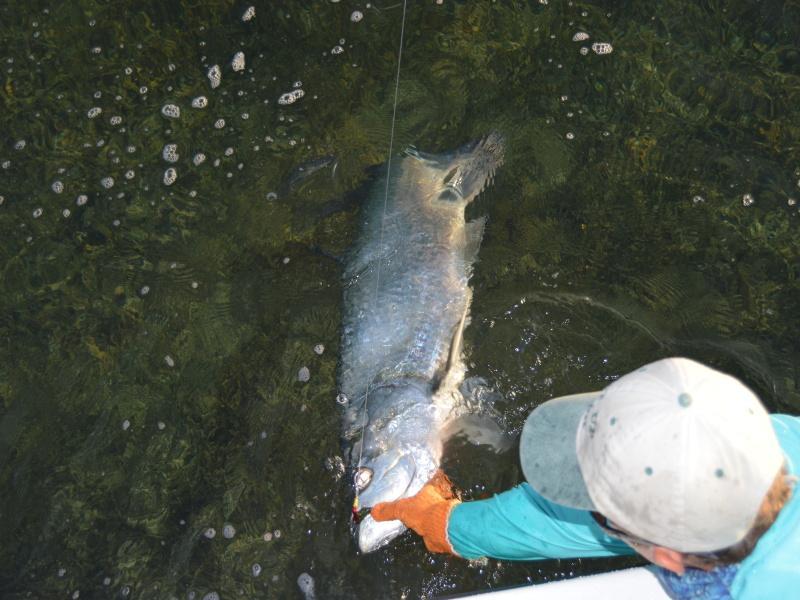 Landing Big Ft Myers Fly Fishing Tarpon